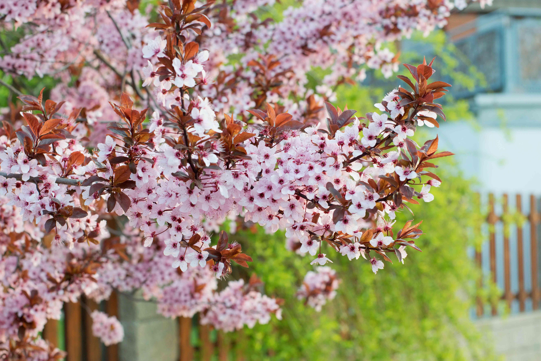 Prunus cerasifera tree blooming in the springtime