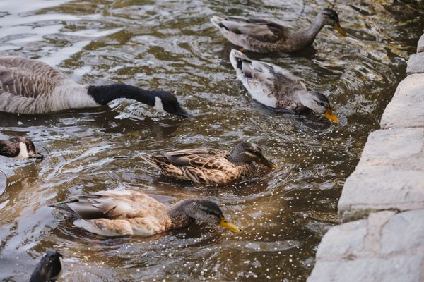 ducks feedings