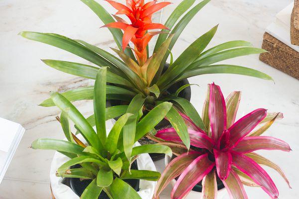 varieties of bromeliads
