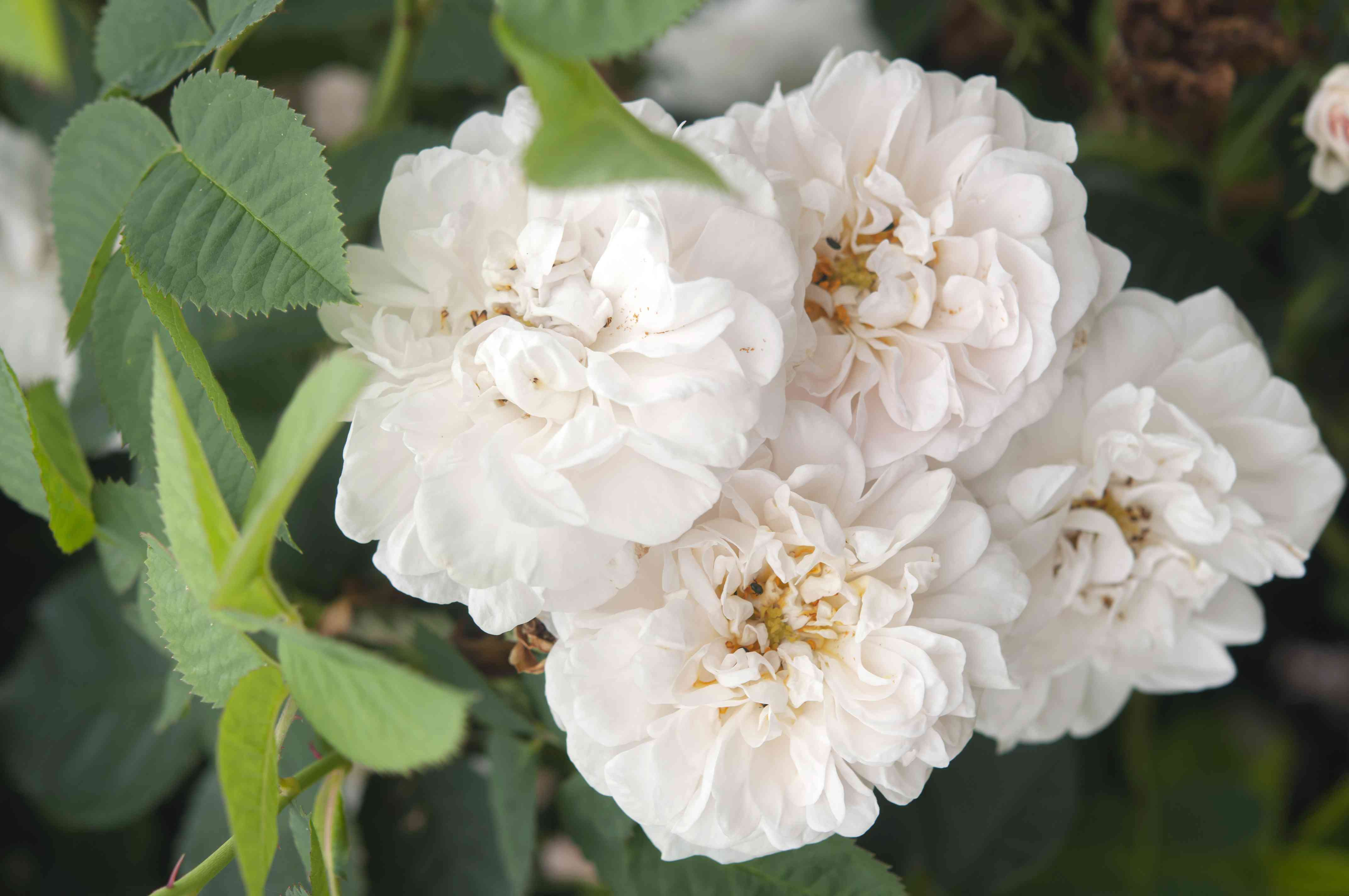 Alba roses with white flowers closeup