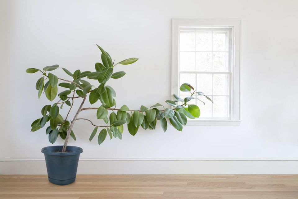Rubber plant growing toward window in a white room with wooden floors.