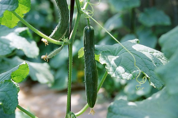 Cucumbers wilting on the vine.