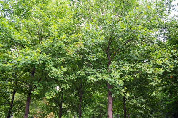 Tulip trees with branches full of yellow-green leaves