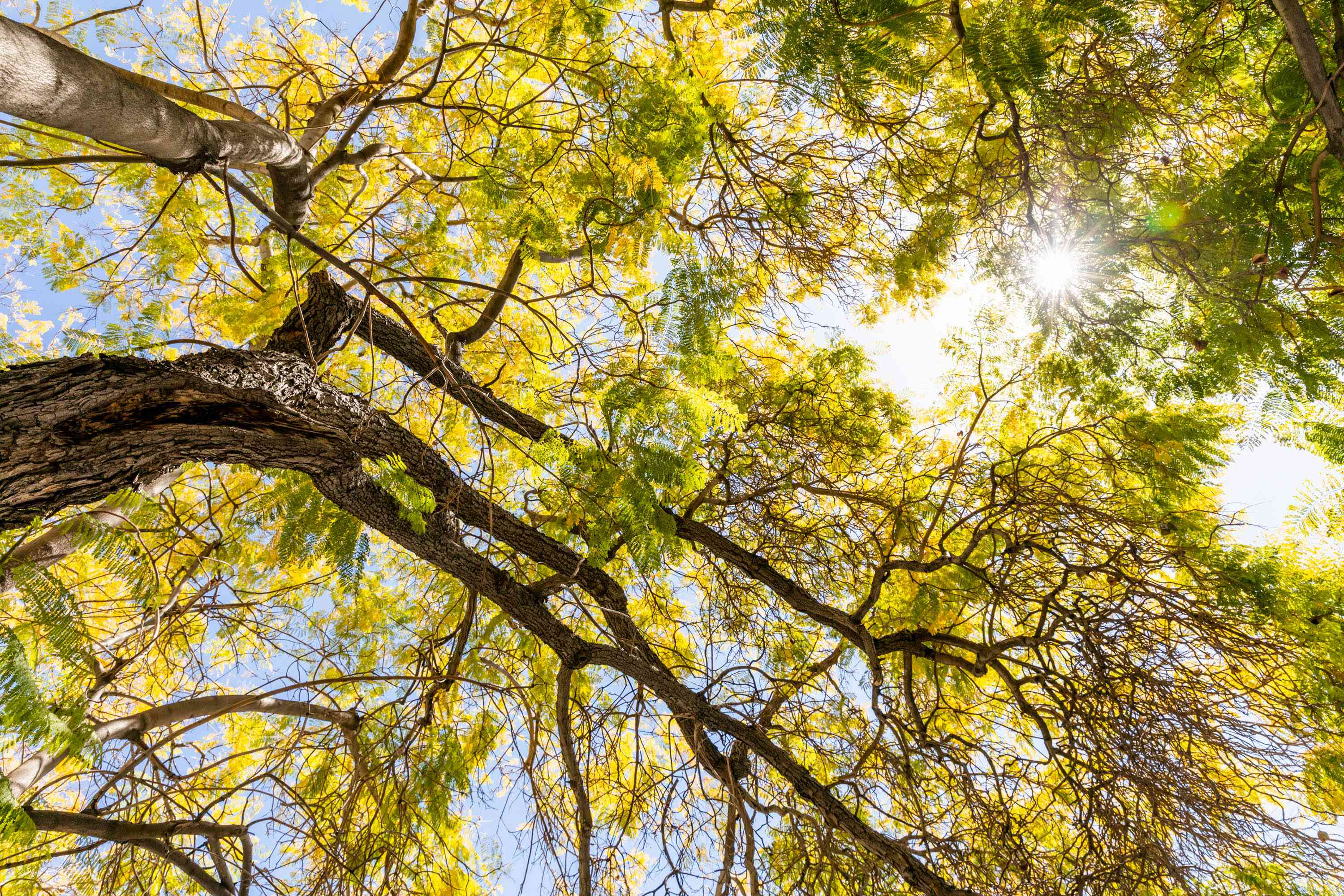 Jacaranda tree branches from below with green and yellow leaves
