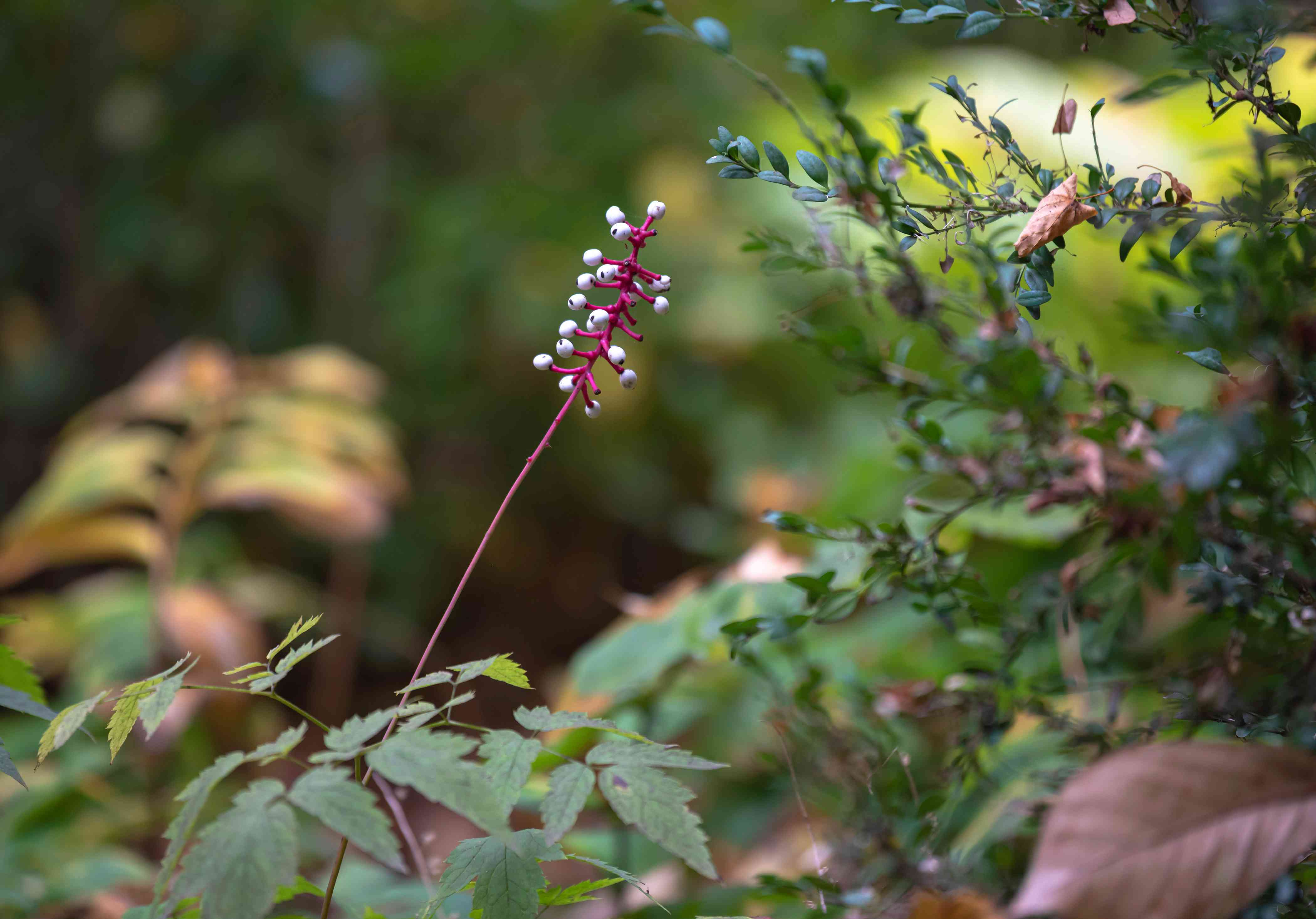 White baneberry plant with long and thin pink stem with white berries in wooded area