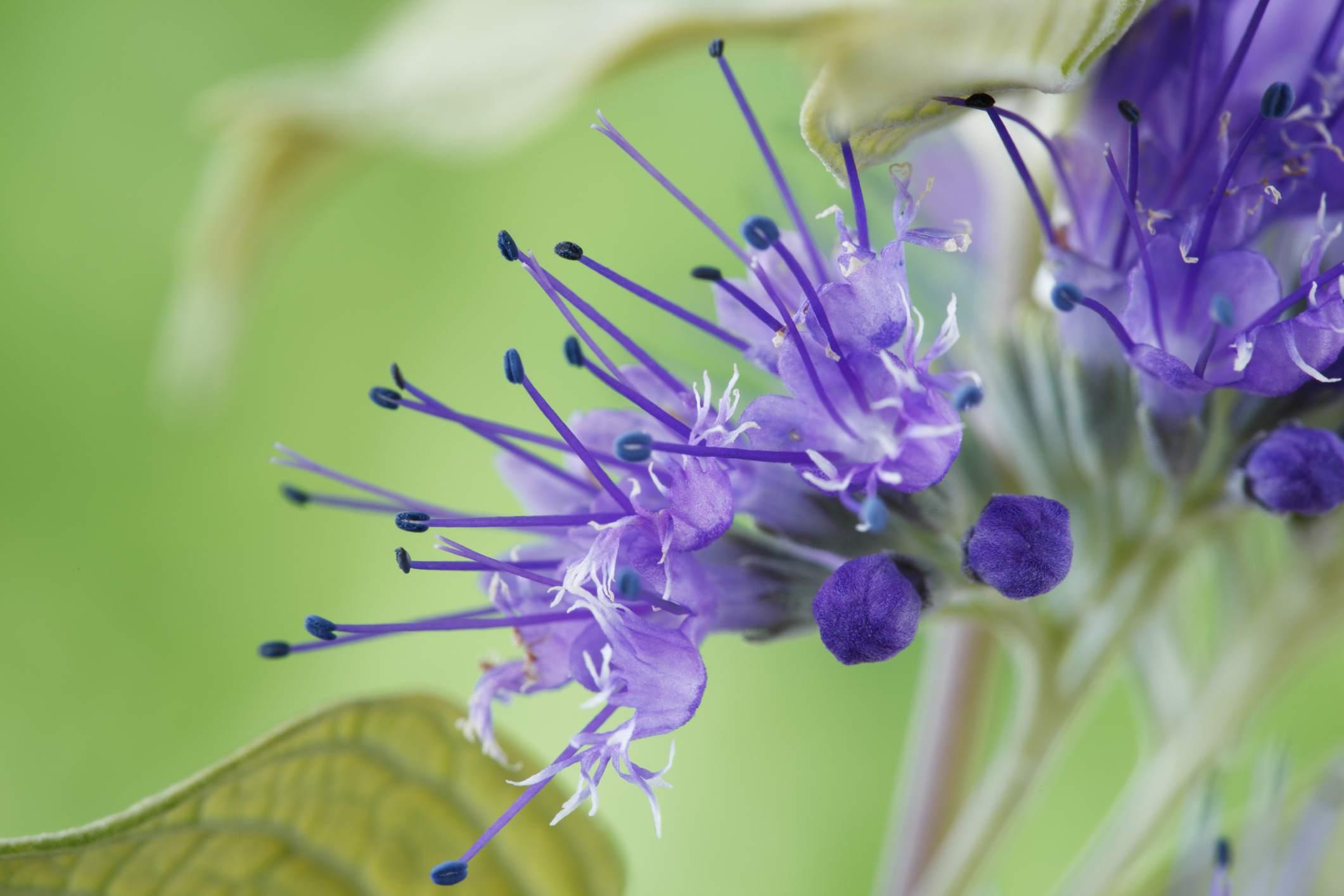 Super primer plano de la floración del arbusto de barba azul