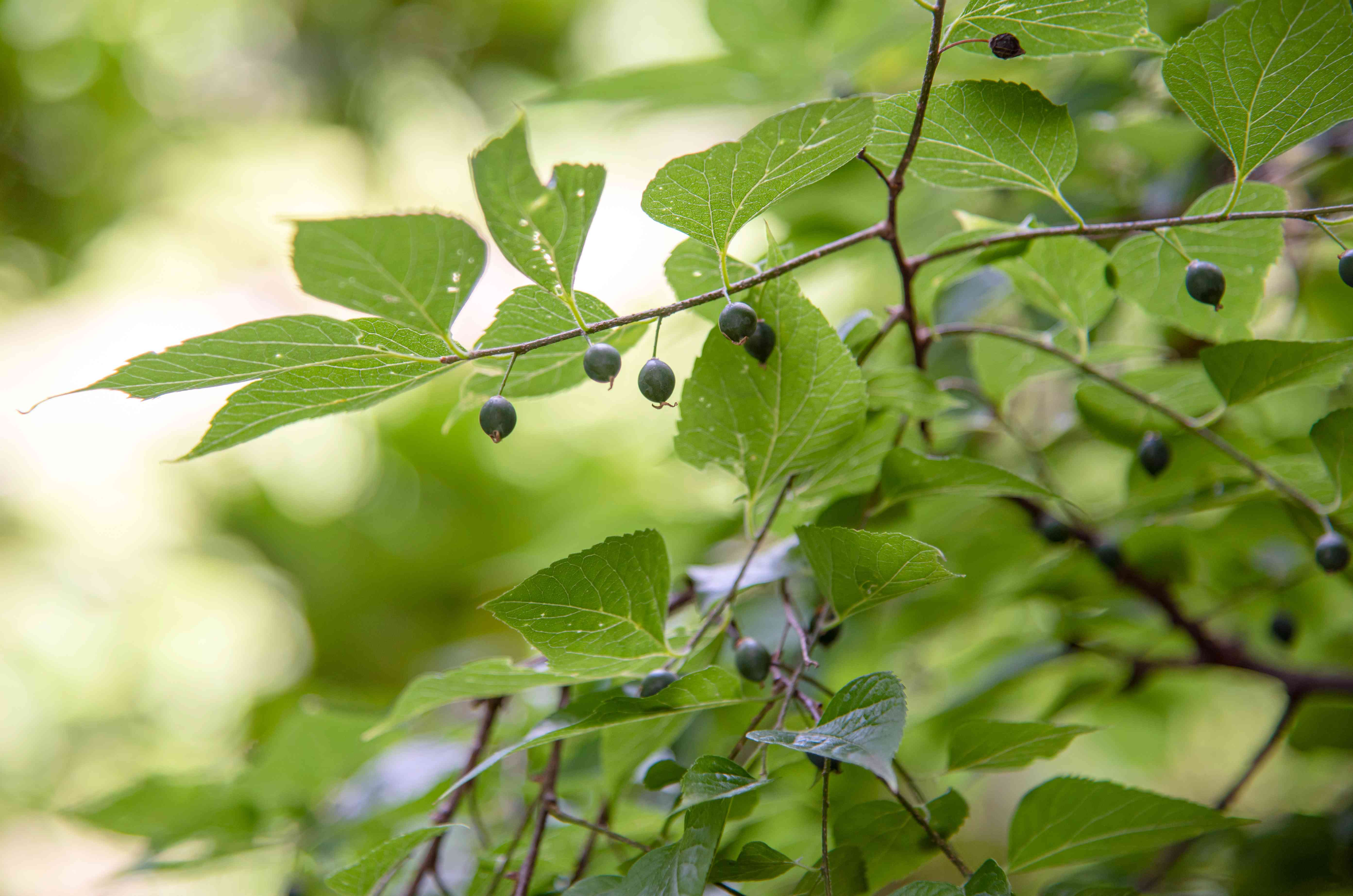 Hackberry tree branch with serrated leaves and small drupe fruits hanging