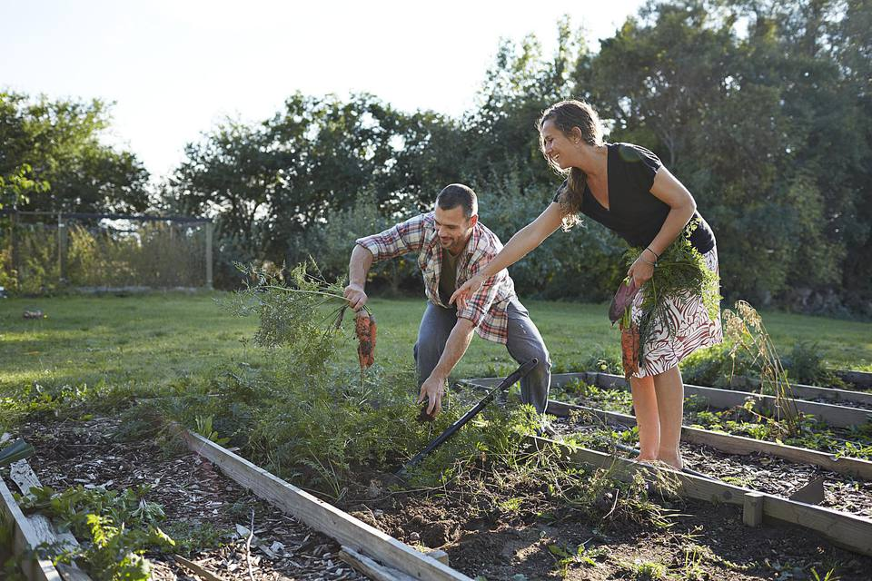 A man and woman harvesting carrots in a garden