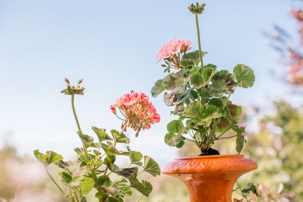 geraniums growing in containers