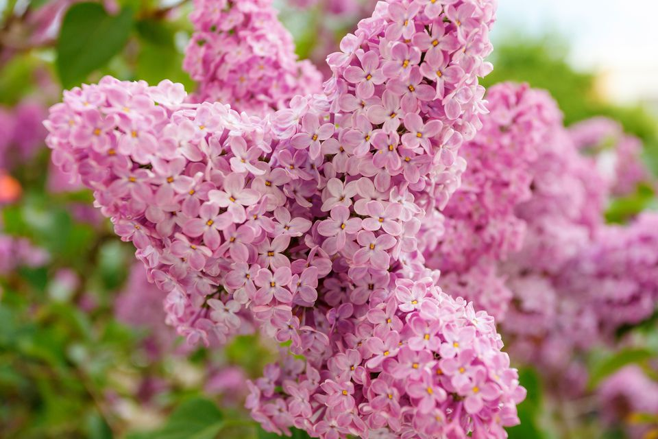 Closeup of pink flowers on a lilac bush.