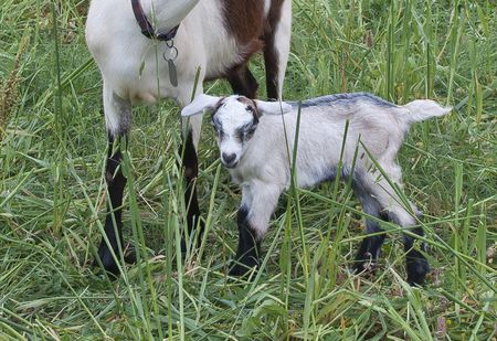 How Much Is A Baby Goat >> How To Raise And Care For Baby Goats