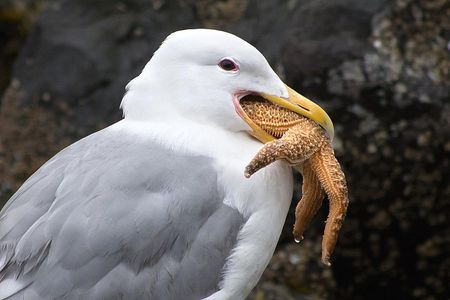 Gull Eating A Sea Star