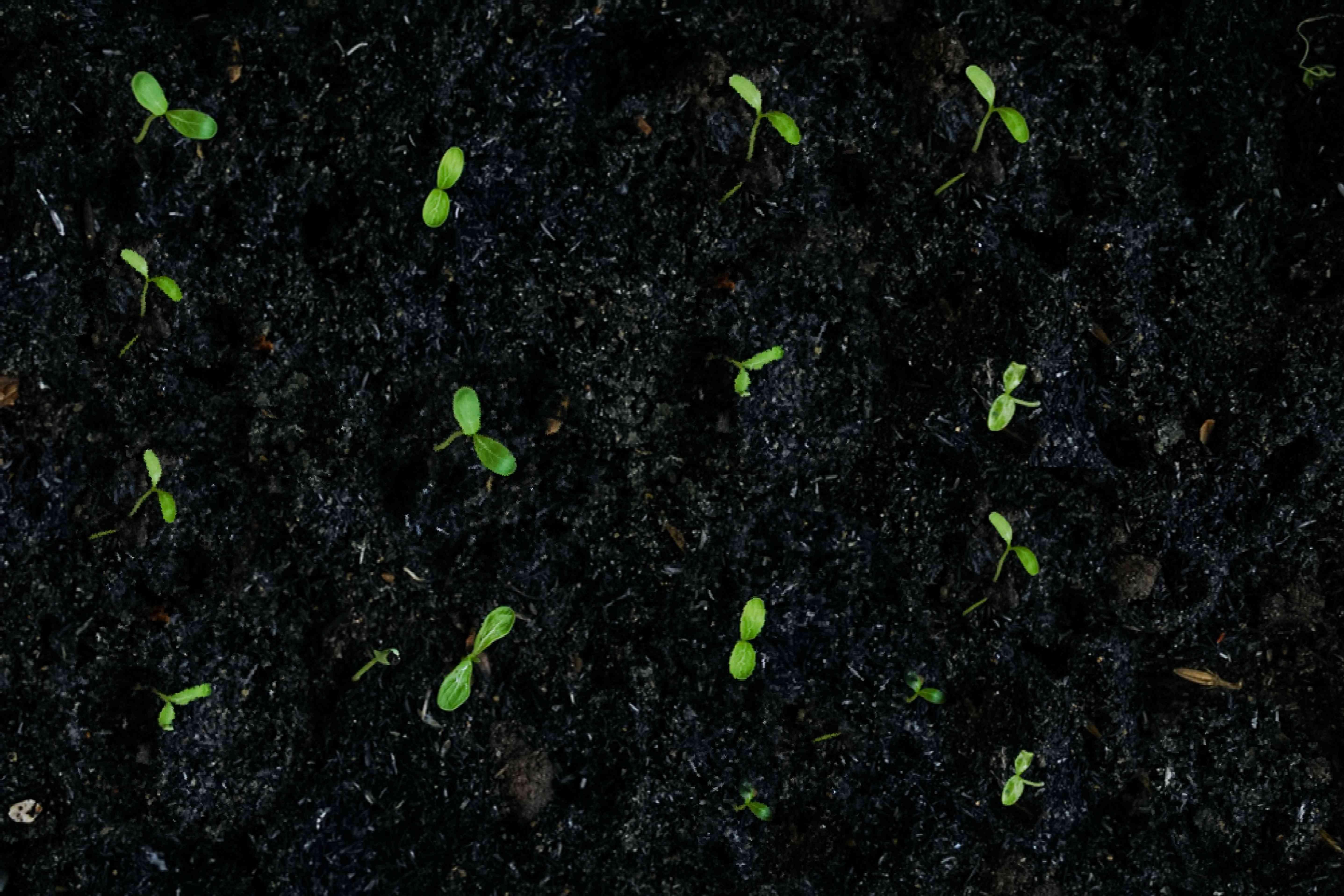 brussels sprouts seedlings