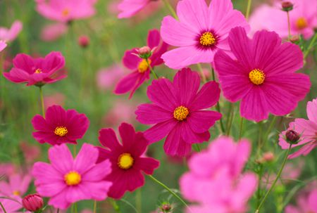 How to plant grow and care for cosmos colorful cosmos flowers mightylinksfo