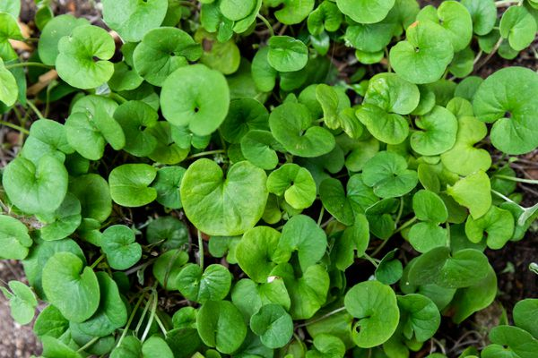 Dichondra ground cover plant with rounded leaf clusters closeup