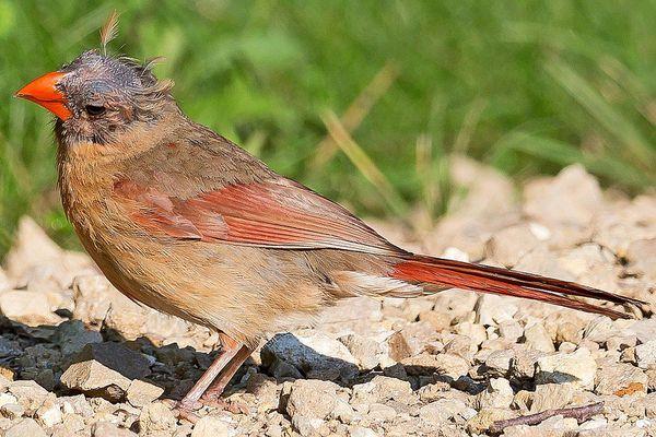 Bald Northern Cardinal