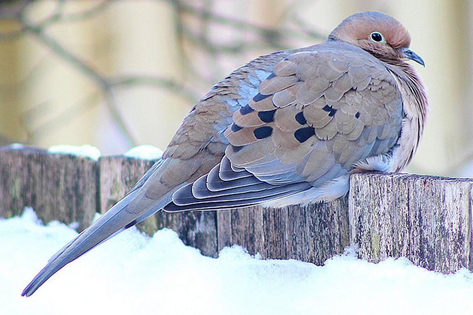 Winter Mourning Dove