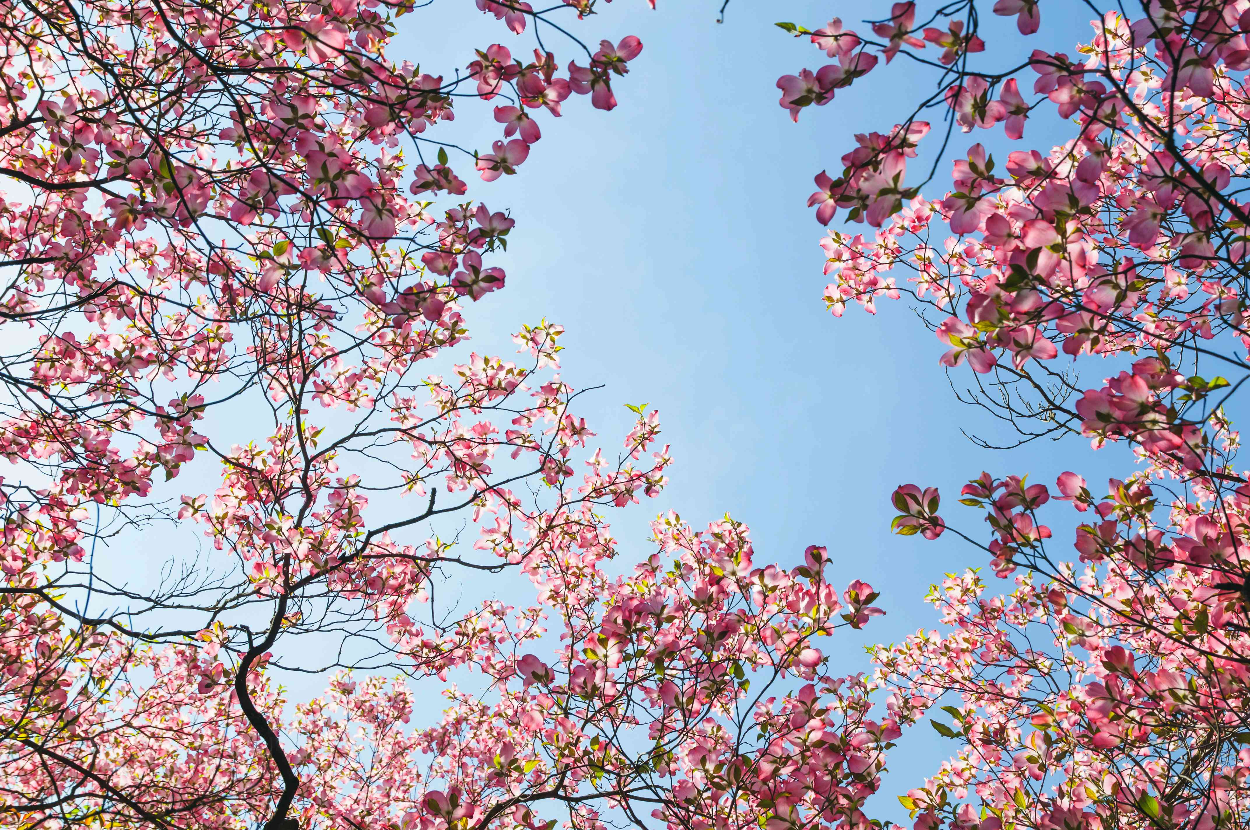 Flowering dogwood branches with pink flowers against clear blue sky