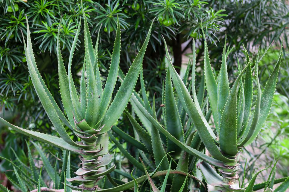 Krantz aloe plant with flat sharp-edged leaves pointing upwards on thick trunk