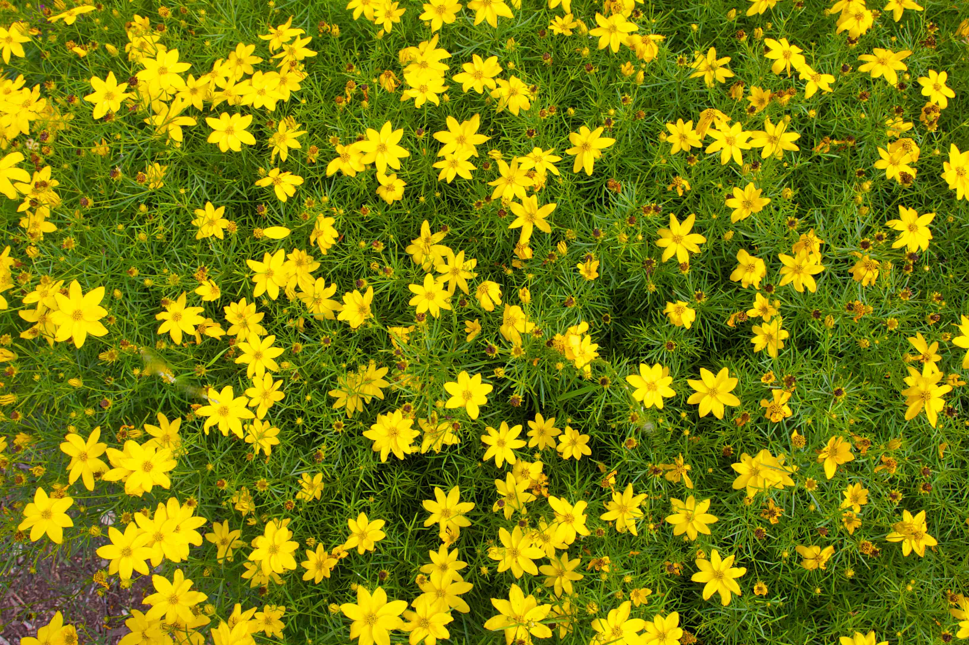 moonbeam coreopsis from above