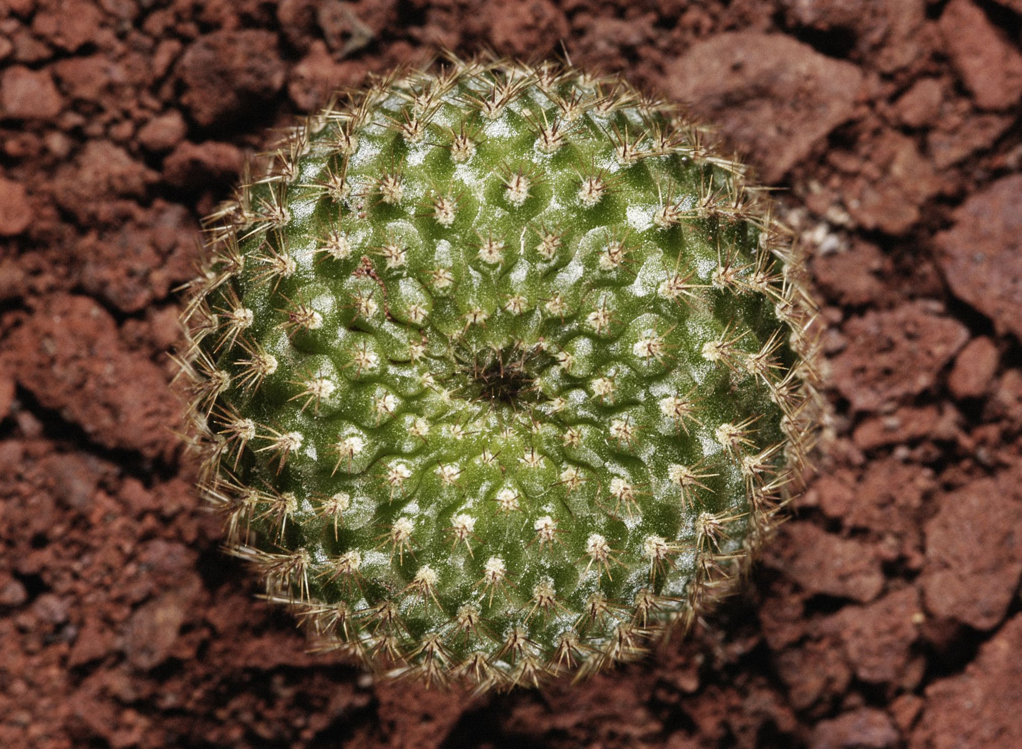 Crown Cactus Growing Rebutia Cacti
