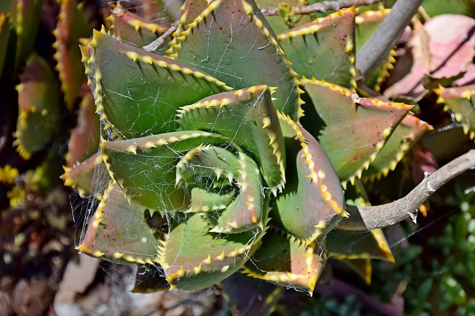 Close up image of the Jewel Aloe (Aloe distans) plant