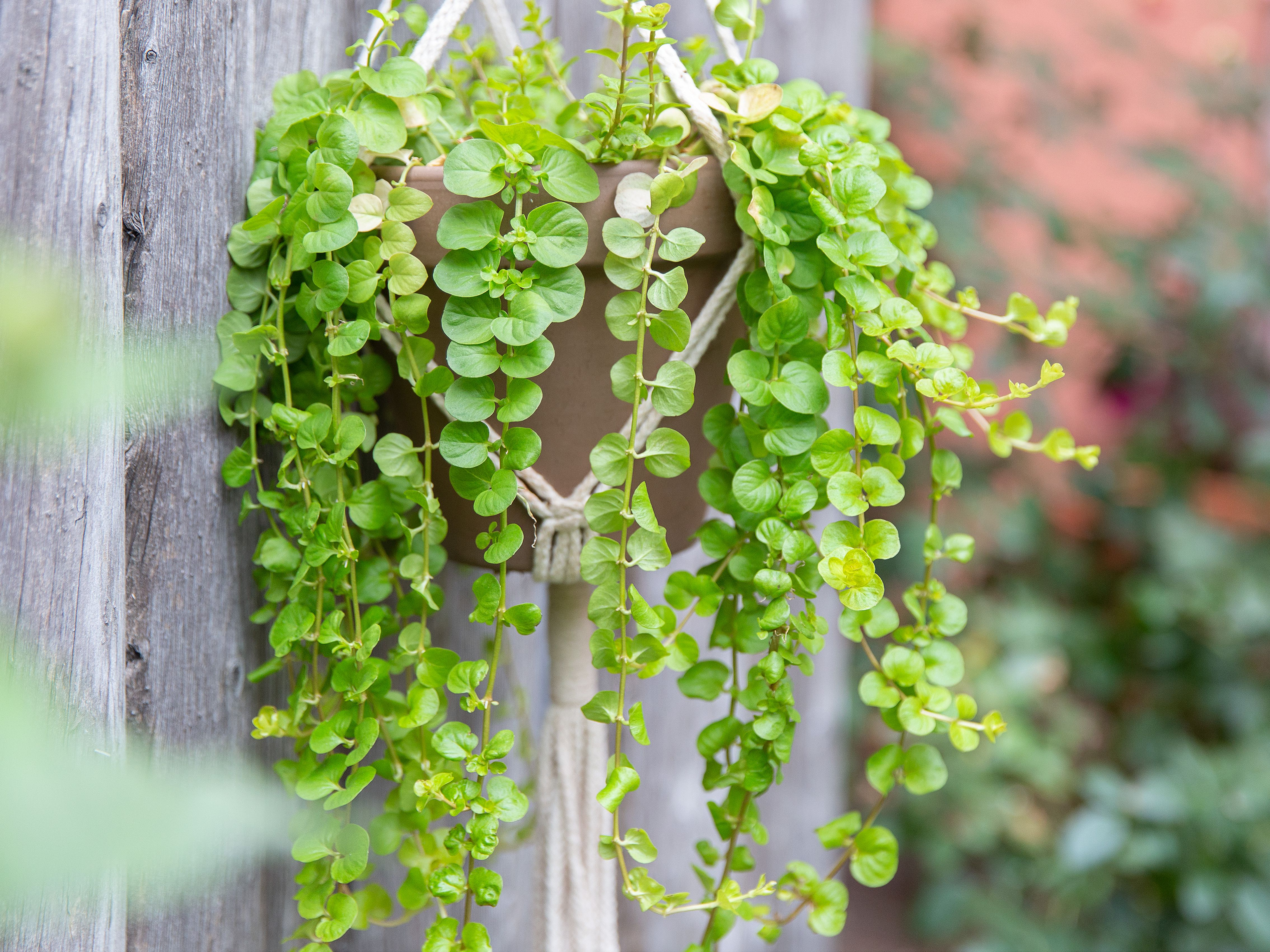 Creeping Jenny Plant Care Growing Guide, Creeping Jenny Ground Cover Seeds