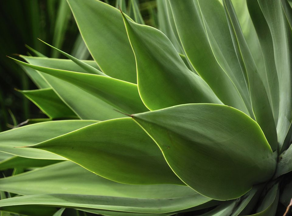 Agave Plant Leaves