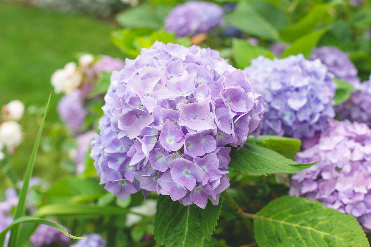 Hydrangea plant with light purple and large round flower clusters on edge of stem