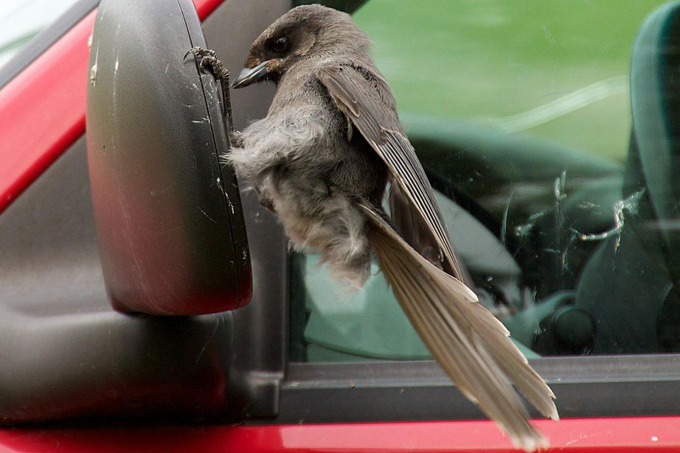 Canada Jay Attacking a Car Mirror