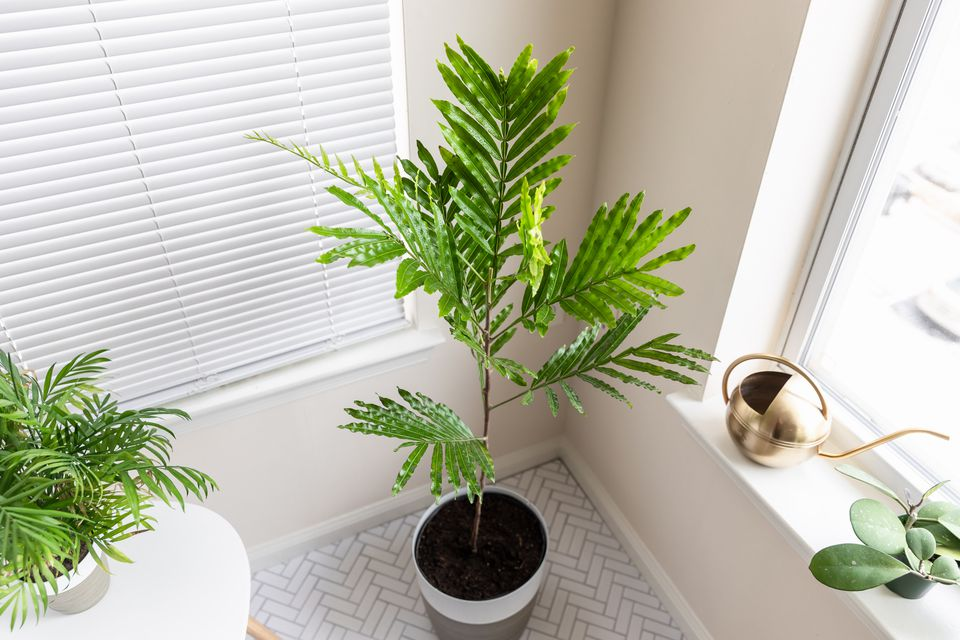 Japanese tree fern potted in corner of house next to window and other houseplants