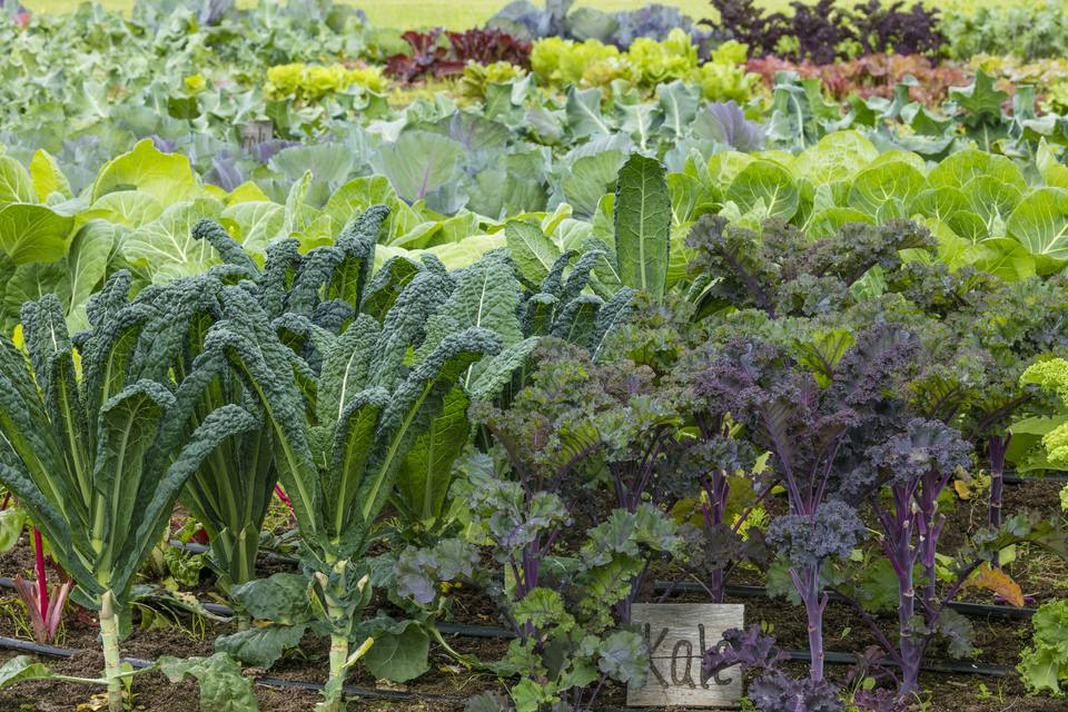 Kale in organic vegetable garden, Alaska, USA