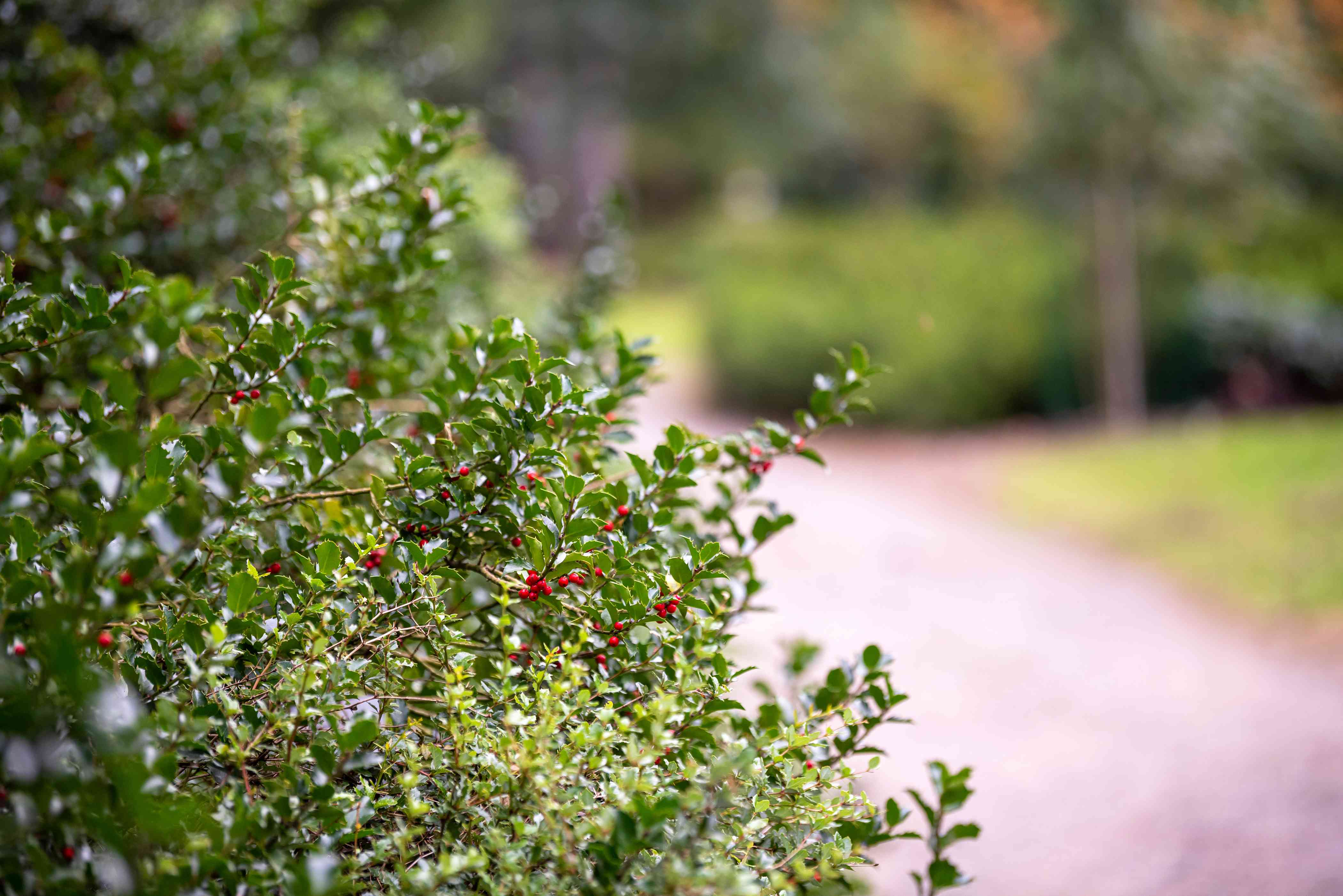 Blue princess holly shrub branches extending toward sidewalk with glossy leaves