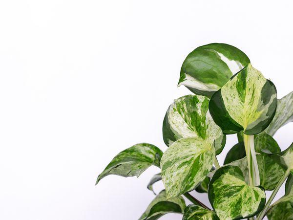 Variegated manjula pothos leaves against a white background.