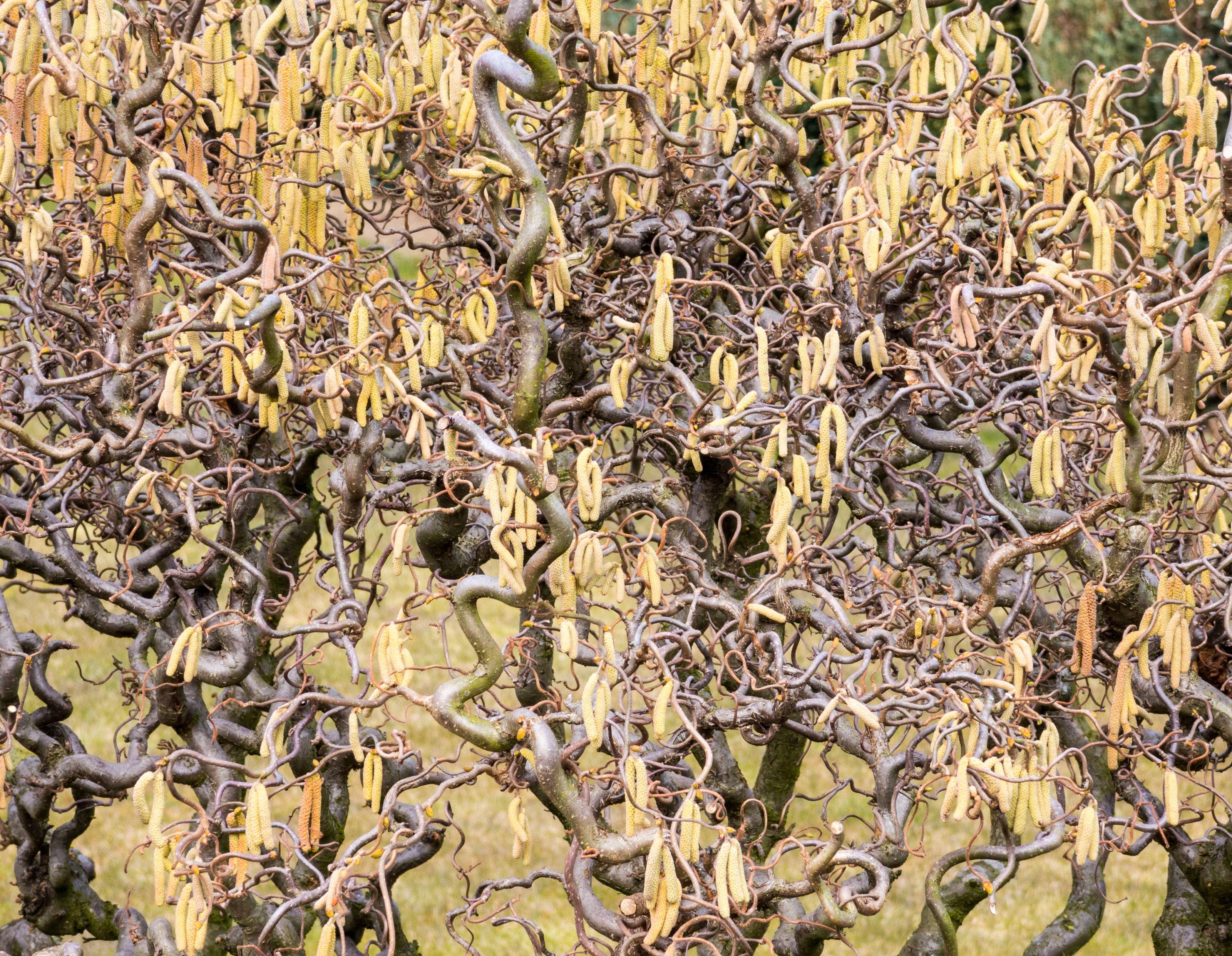 corylus hazelnut bush