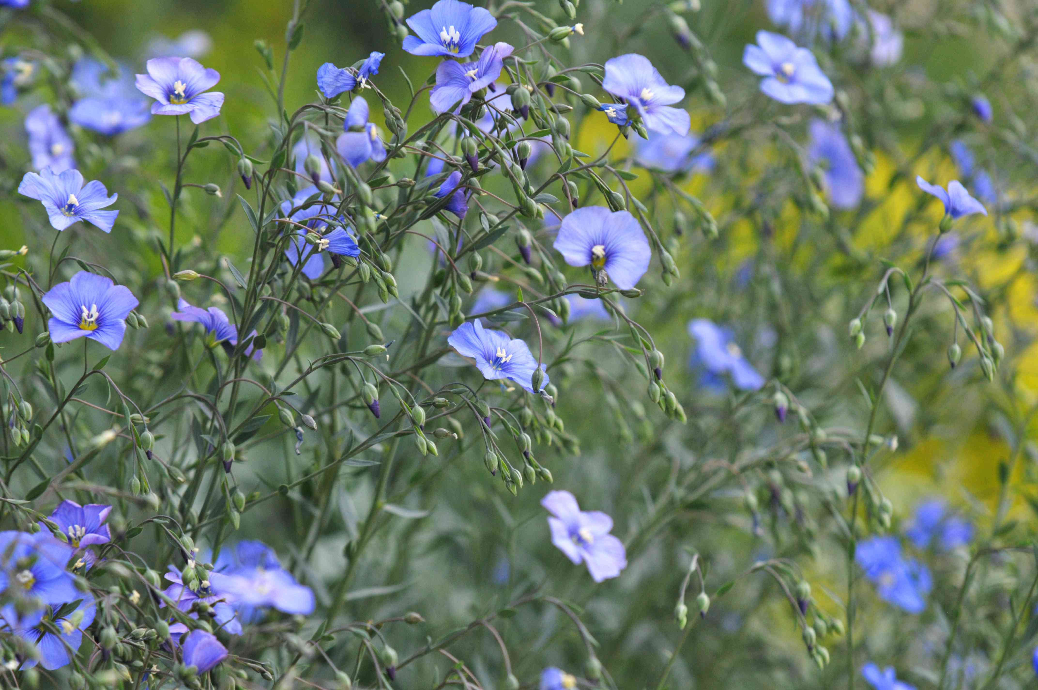 Flax plant stems with blue flowers and buds