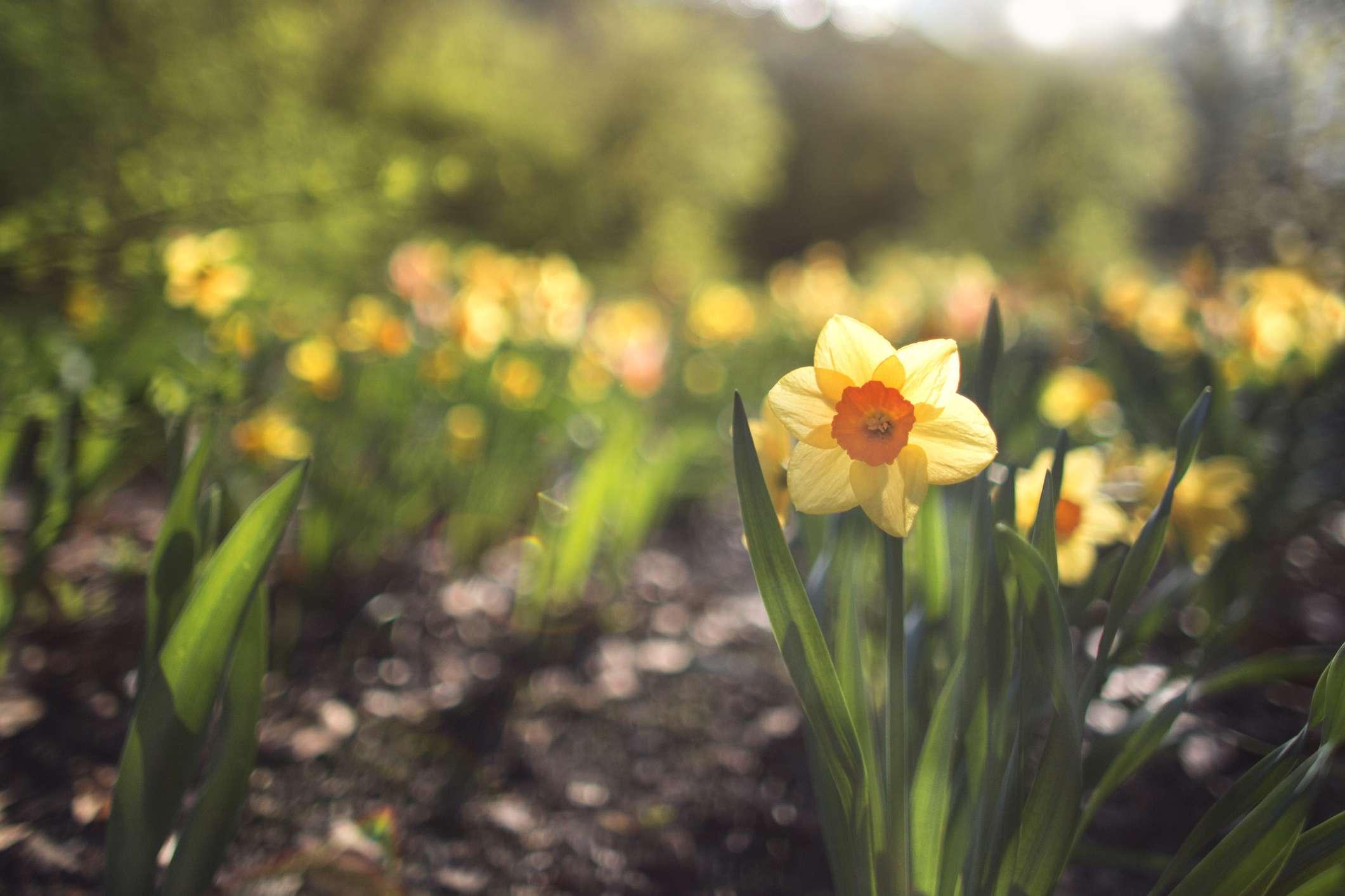 Daffodil growing in a spring garden