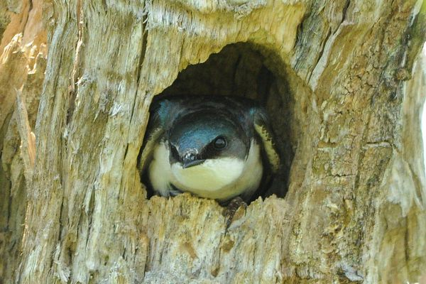 Tree Swallow at the Nest