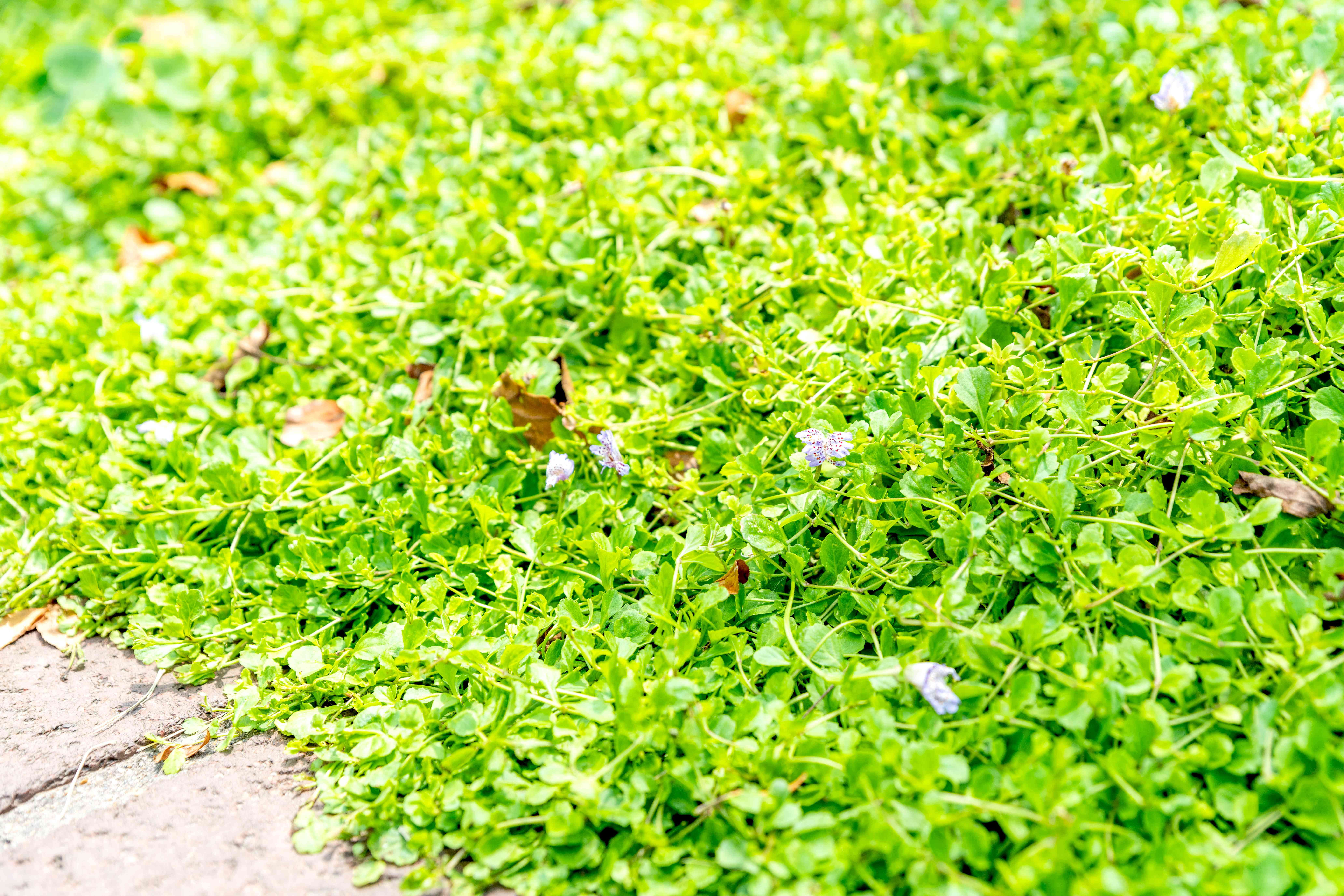 Creeping mazus ground cover with bright green circular leaves near pathway