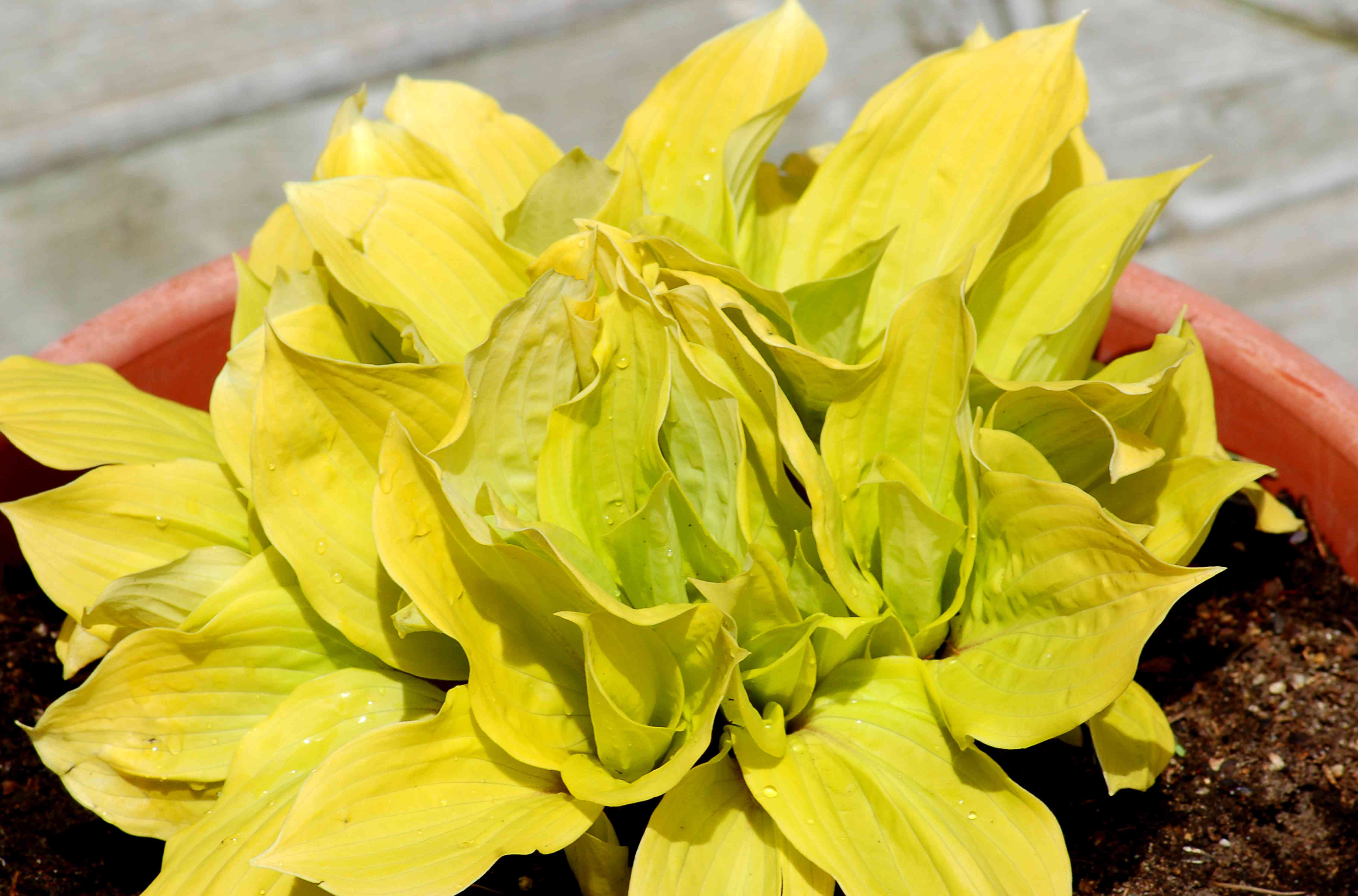 Fire Island hosta with golden leaves.