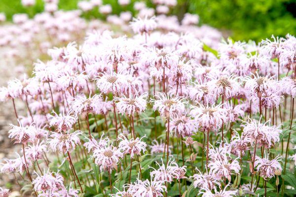 Wild bergamot plants with frilly light pink flowers in rain garden