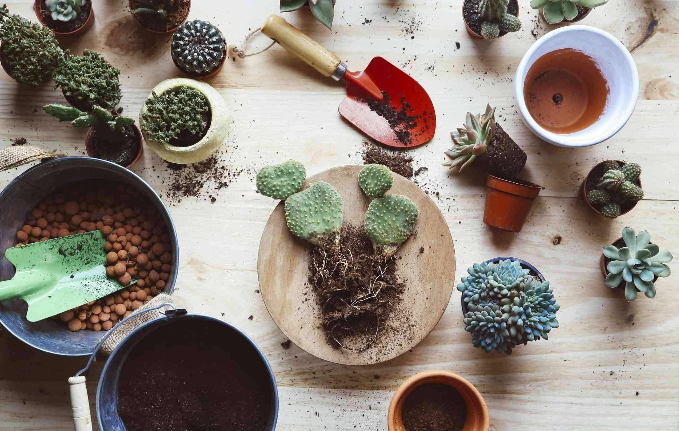 Repotting a bunny ear cactus (Opuntia microdasys) on a wooden background.