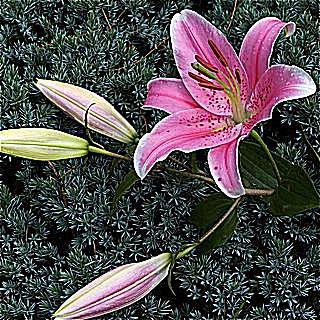 imagen de jardinería en contenedor de calibrachoa Dreamsicle en nieve