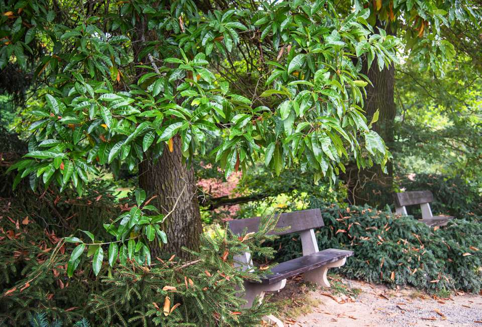 Shingle oak tree with bright green and waxy leaves growing over benches