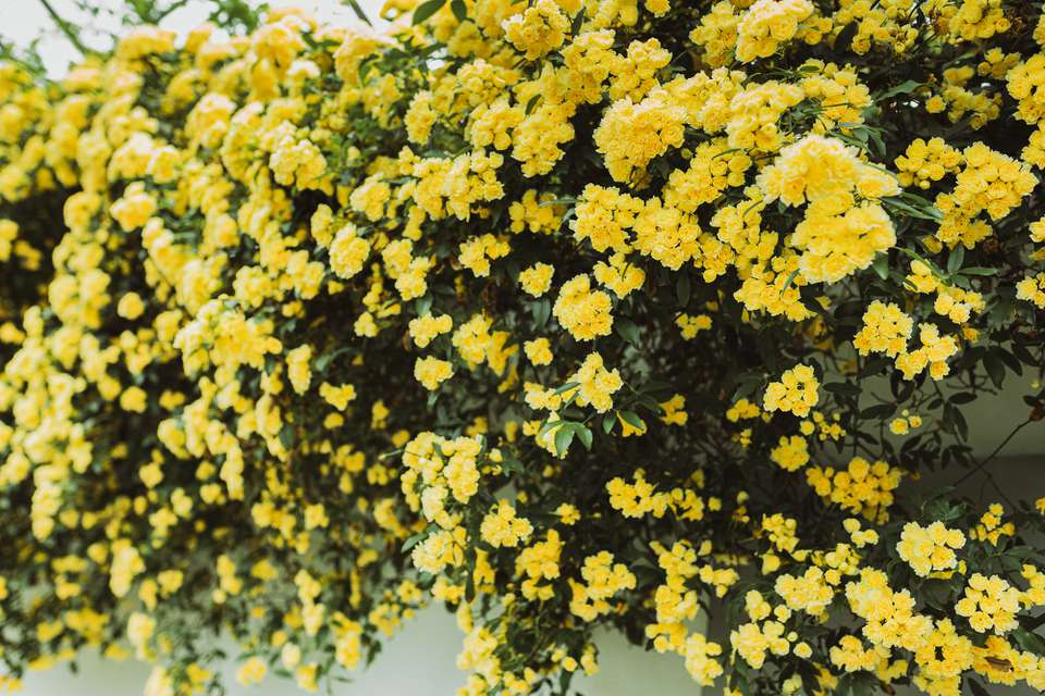 Rose bushes with yellow rose clusters hanging over wall