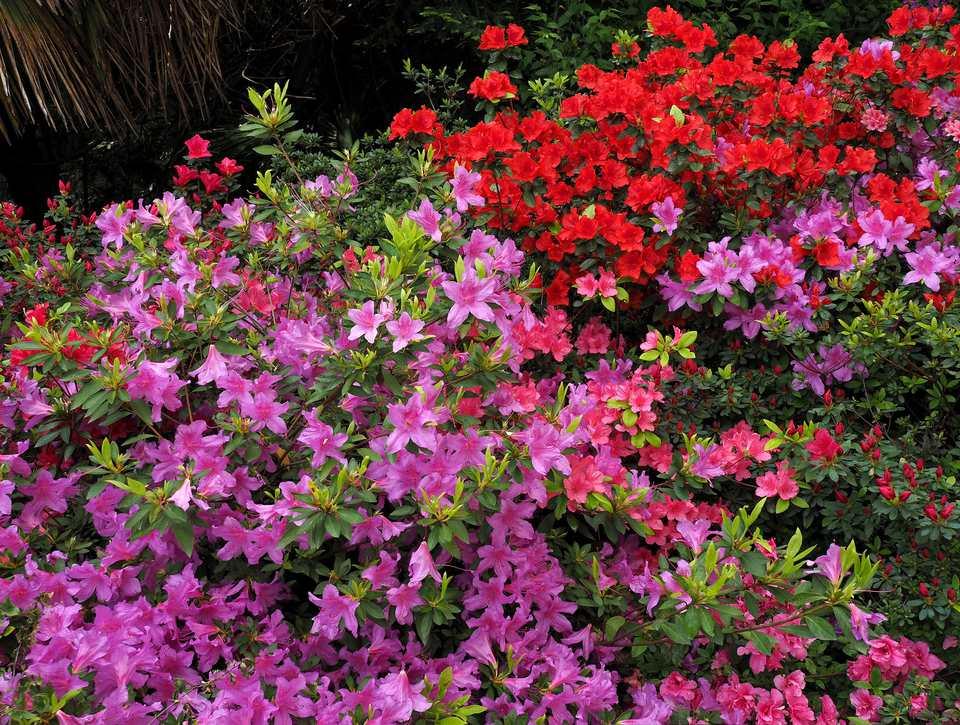Multicolor Azaleas Flowering