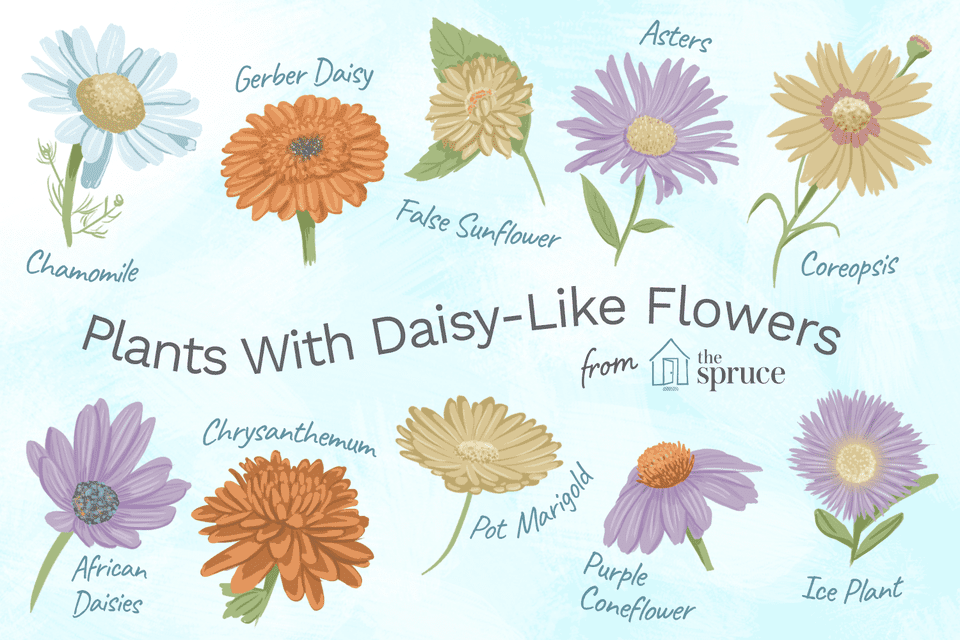 13 Plants With Daisy-Like Flowers