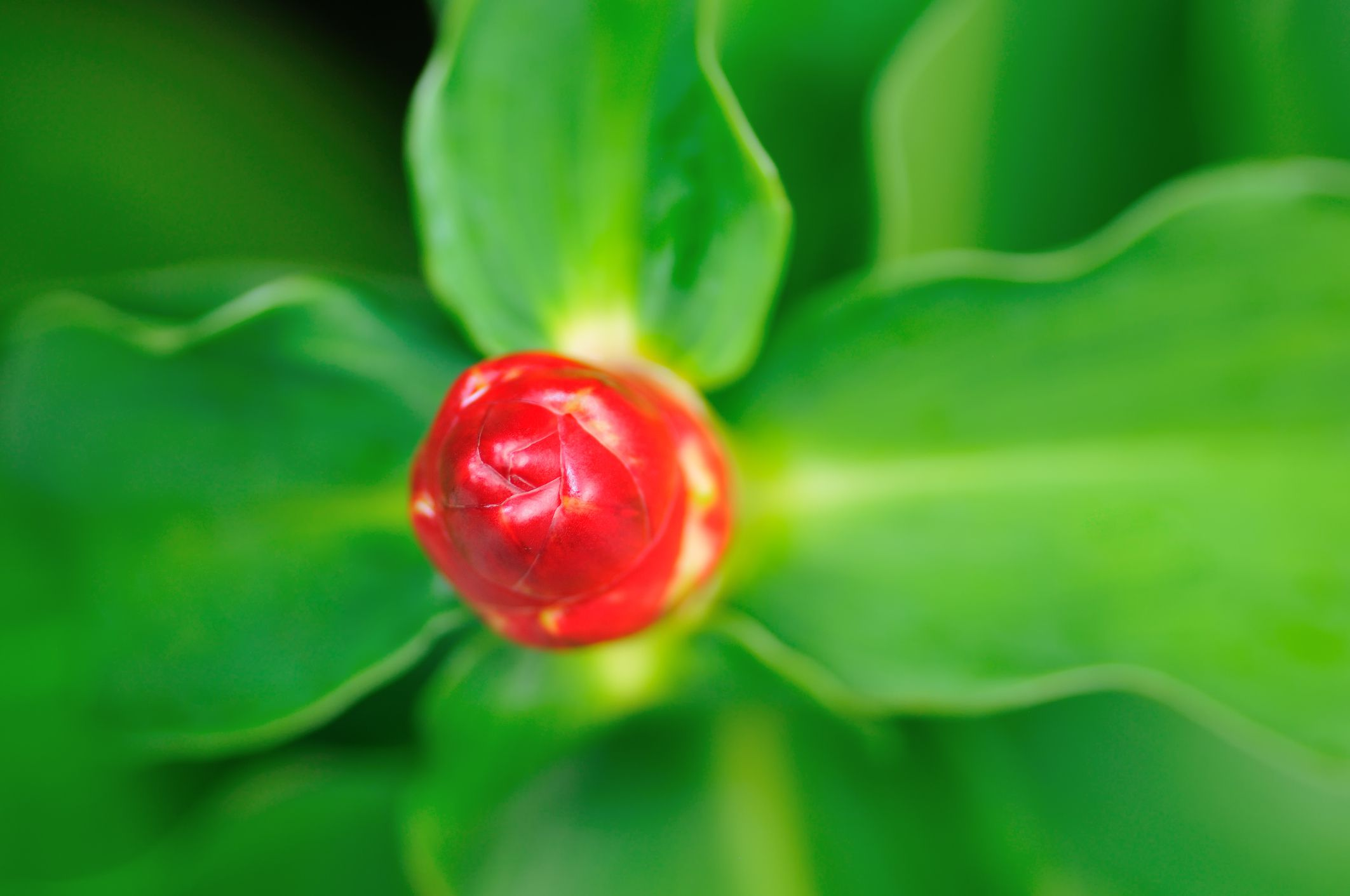 Close-up of a red button ginger