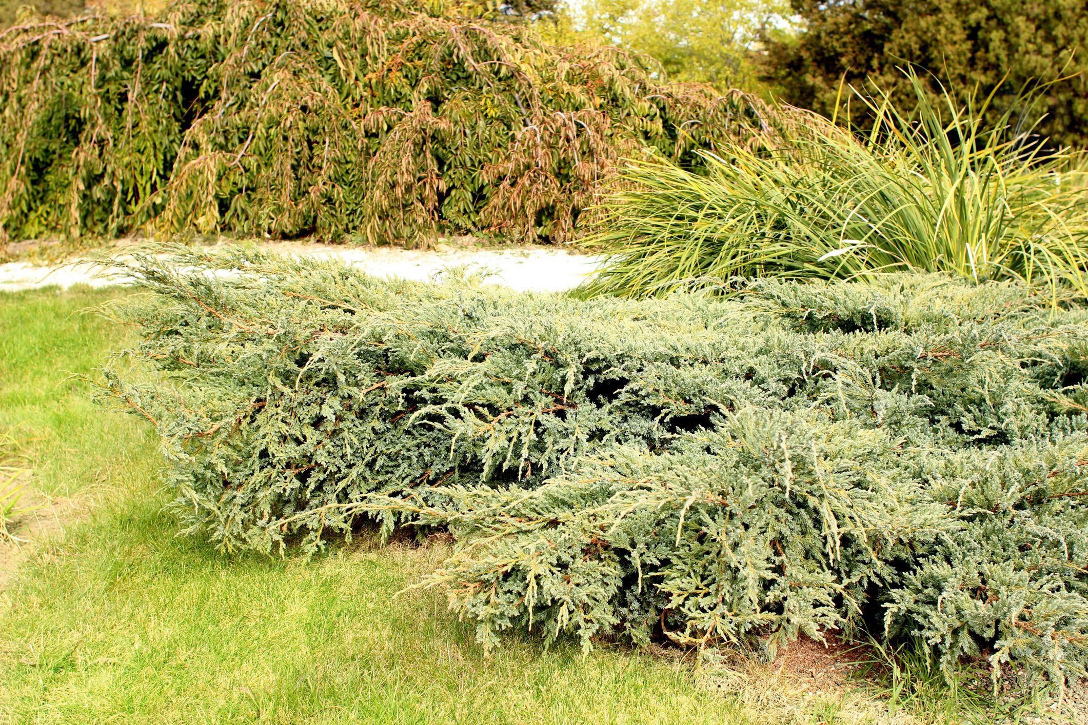 arbustos de enebro en un jardín
