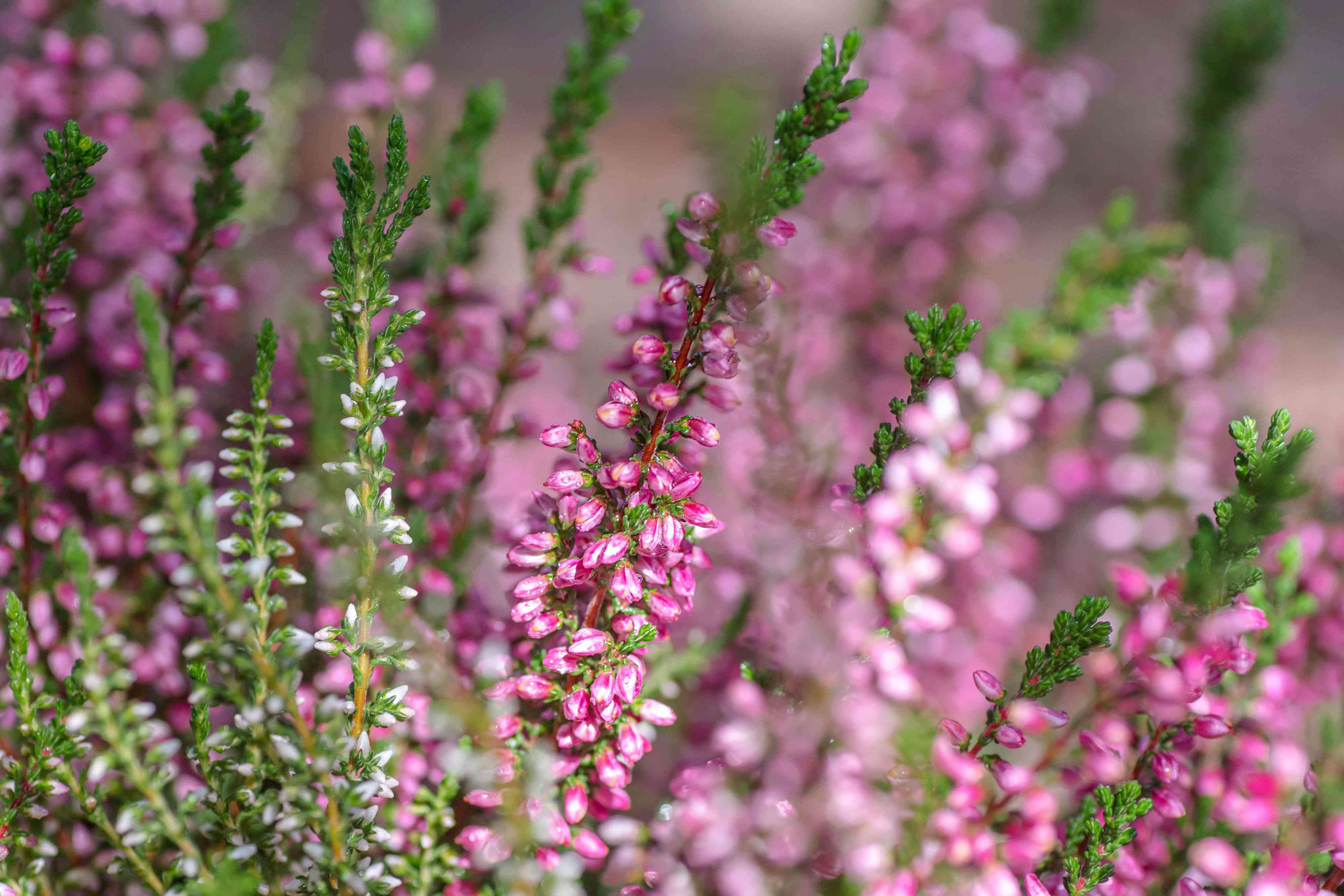 Heather plant with long stems with small pink flowers and white buds